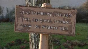 New 'Holy Thorn' for Glastonbury