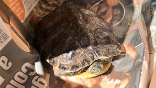 Dehydrated turtle rescued by RSPCA with suspected cigarette burns & collapsing shell