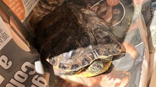 The yellow-bellied terrapin is now recovering at a specialist reptile sanctuary