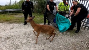 Trapped deer