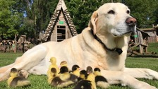 Dog 'adopts' nine ducklings at Essex castle
