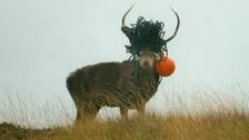 This stag also was seen to be carrying a buoy which had washed up on the shore.