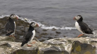 Monitoring the puffin population is notoriously difficult