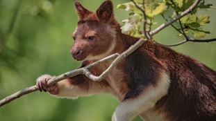 Meet the rare tree-dwelling kangaroo that's arrived in Chester Zoo