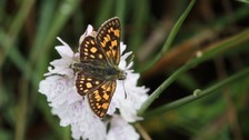 Extinct butterfly makes a comeback
