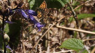 The Chequered Skipper butterflies
