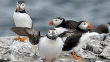 Northumberland puffin numbers 'may be down'