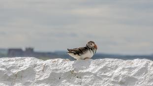 Farne Island puffin census raises fears for the colony
