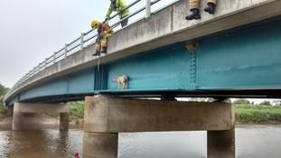 Second sheep rescued from same bridge in one week by fire crews