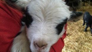 Panda lambs bred in Borders