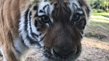 One of the tigers at Knowsley