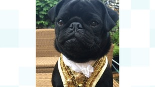Pugs in period dress: Suffolk designer takes four-legged fashion to new heights