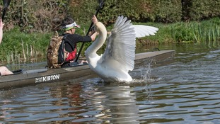 Aggressive swan causing mayhem for kayakers