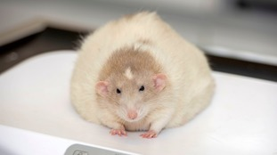 A fat rat from Wales battles the bulge in a national pet slimming contest