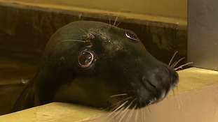 A grey seal which was badly injured when it became entangled in plastic is fighting for its life.