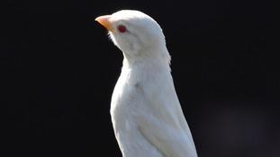 Albino House Sparrow