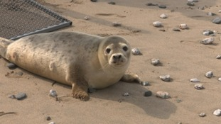 Rescued seal pups returned to the sea