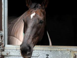 Denman horse