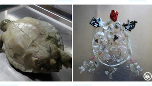 Plastic found in the digestive system of dead loggerhead sea turtles.