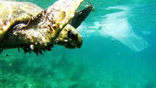 A turtle swims through 'plastic soup'.
