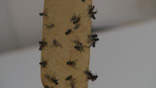 Flies on flypaper