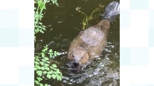Beaver caught on camera by plant hire company
