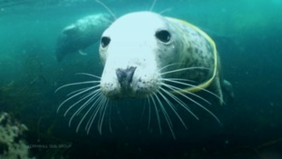 Seals under threat from plastics in the South West waters
