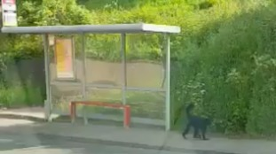 The spider monkey was spotted at a bus stop after escaping from Belfast Zoo