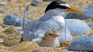 Rare sea birds nest on North Denes beach a week before Air Show