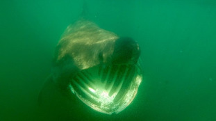 Basking sharks spotted off coast of Isle of Man prompts warning from experts