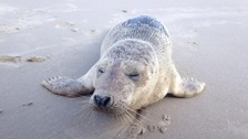 'Iris' the Seal pup dies