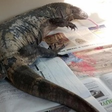 3 foot long lizard captured in Bristol