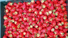 Rich pickings- arrests after large scale strawberries theft in Kent