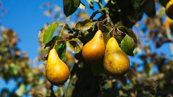 Warden Pears were mentioned by Shakespeare