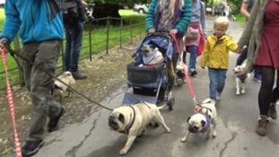 Pug walk