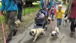 Pug walk raises funds for rescue charity