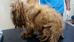 Dumped dog Benji had such badly matted hair his foot had rotted off