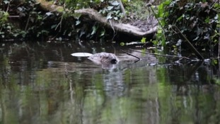 Beavers born in Cornwall for the first time in 400 years