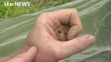 On the brink - why our dormice are disappearing