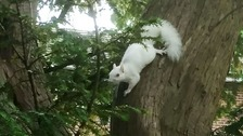 Rare albino squirrel spotted scampering up a tree in Surrey