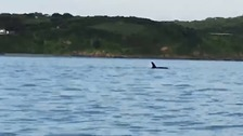 Is this the first killer whale sighting near Plymouth for more than four years?