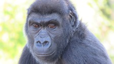 Bristol Zoo finds out their boy gorilla is actually a girl!