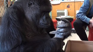 Koko, the talented gorilla who mastered the art of sign language, has died aged 46