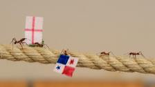 Leafcutter ants race back to the queen with their flags.