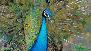 A peacock 'strutting' around Essex kept police busy on Saturday