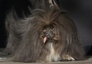 Wild Thang, a Pekingese, stands onstage during the World's Ugliest Dog Contest
