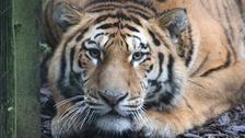 Botzman the Amur tiger