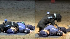Poncho the Spanish police dog has been trained in CPR.