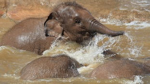 Elephants Aayu, Indali and Sundara use the pool to cool down at Chester Zoo.