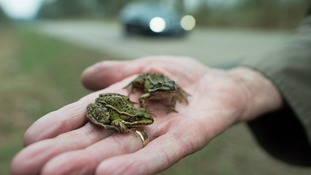 Frogs and toads spotted less frequently in Welsh gardens according to RSPB survey
